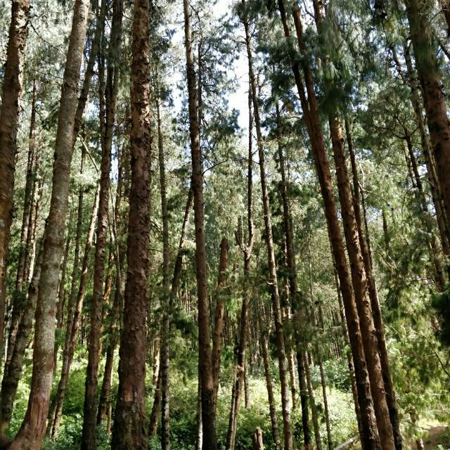 Pine Forest Shooting Spot
