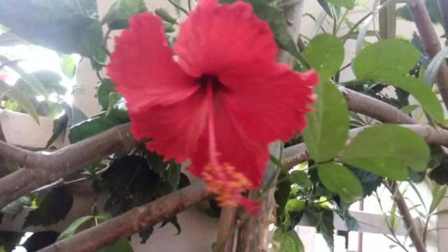 Hibiscus flowers home
